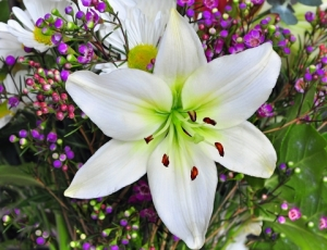 Easter Lily (DT 8087007)
