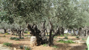 Garden of Gethsemane 07 (New Shoots)