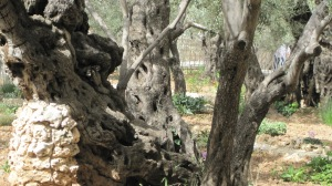 Garden of Gethsemane 08 (New Shoots)
