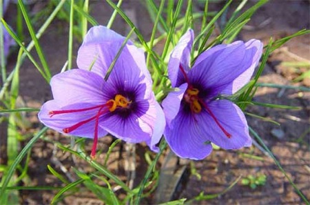 Crocus in the desert