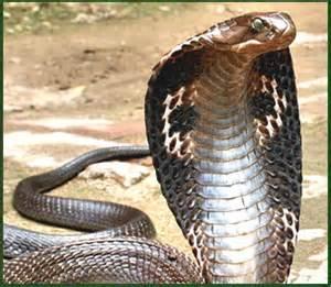 Snake (Coiled)